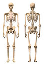 Male human skeleton two views front and back scientifically correct photorealistic d rendering clipping path included Royalty Free Stock Photography