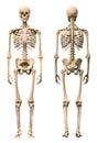 Male Human Skeleton, Two Views...