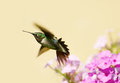 Male hummingbird. Stock Photography
