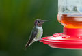 Male hummingbird Royaltyfri Bild