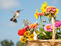 Male Hummingbird in flight Royalty Free Stock Images
