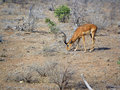 Male impala Royalty Free Stock Photos