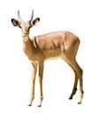 Male impala aepyceros melampus isolated on white Royalty Free Stock Image