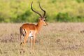 Male Impala antelope with big horns Royalty Free Stock Photo