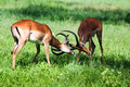 Male impala antelope fighting tarangire national park Stock Images