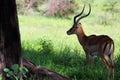 Male impala antelope tarangireâ nationalâ park Royalty Free Stock Photography