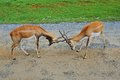 Male impala antelopes are fighting antelope deers Royalty Free Stock Photos