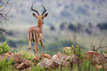 Male impala a on the edge of a mountain at ithala game reserve Royalty Free Stock Photography
