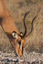 Male impala grazing Stock Photos