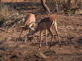 Male impala sparring Royalty Free Stock Photo