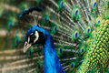 Male indian peacock Royalty Free Stock Photography