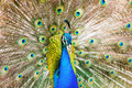 Male indian peafowl closeup of Royalty Free Stock Photo