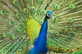Male indian peafowl displaying tail feathers close up of Royalty Free Stock Image