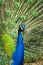 Male indian peafowl displaying tail feathers close up of Royalty Free Stock Images