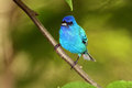 Male Indigo Bunting Royalty Free Stock Images