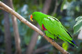 Male indonesian eclectus parrot on a tree branch Royalty Free Stock Image