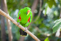 Male indonesian eclectus parrot on a tree branch Royalty Free Stock Photography