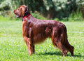 Male Irish Setter Royalty Free Stock Photo