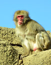 Male japanese macaque snow monkey on top of rocks sits vigilant staring straight into the camera against clear blue sky Stock Images