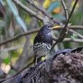 Male japanese thrush beautiful bird turdus cardis standing on the log breast profile Royalty Free Stock Image
