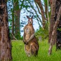 Male kangaroo in the forest