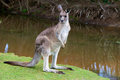 Male kangaroo standing near a lake Royalty Free Stock Photo