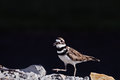 Male killdeer guarding walking on rocks extreme shallow depth of field with selective focus on bird s eyes Royalty Free Stock Photo