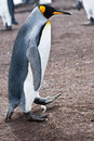 Male king penguin aptenodytes patagonicus stays in the penguins colony in falkland islands Royalty Free Stock Images