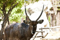 Male kobus waterbuck in zoo Stock Photography