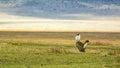 Male kori bustard in mating display ardeotis ngorongoro crater tanzania Royalty Free Stock Images