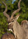 Male Kudu - Botswana Royalty Free Stock Image
