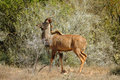 Male kudu in bush-veld Stock Photography