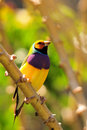 Male Lady Gouldian Finch Bird Royalty Free Stock Photography