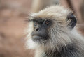 Male langoor a monkey observing somthing carefully Stock Image