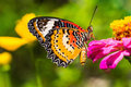 Male leopard lacewing butterfly close up of cethosia cyane euanthes perching on zinnia flower Stock Photography