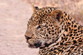 Male leopard lying in the shade Royalty Free Stock Photo