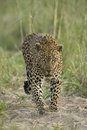 Male leopard panthera pardus south africa a african walking in s mala mala private game reserve Royalty Free Stock Photos