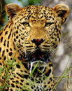 Male leopard portrait drooling kruger park south africa Royalty Free Stock Image