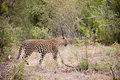Male leopard on the prowl Royalty Free Stock Photo