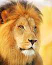 Stock Photography Male Lion