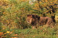 Male lion the adult strolling in the grassland Royalty Free Stock Image