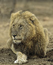 Male lion a battled scarred drooling king of beasts Royalty Free Stock Photo