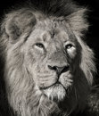 Male Lion - Chobe National Park - Botswana Royalty Free Stock Photo
