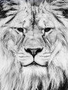 Male lion face. Close-up portrait of huge african feline. Black and white image