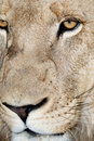 Male Lion Face Royalty Free Stock Photo