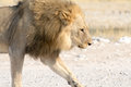 Male Lion on a gravel road Royalty Free Stock Photo