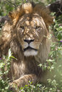 Male lion an impressive relaxing in the shade of a bush ngorongoro conservation area tanzania Royalty Free Stock Photo