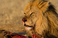 Male lion on a kill Royalty Free Stock Photos