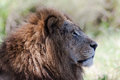 Male Lion King Stare Royalty Free Stock Photo