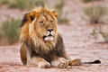 Male lion lay in kgalagadi on san resting and looking Stock Photos